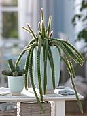 Aporocactus mallisonii (Peitschenkaktus, Schlangenkaktus), Myrtillocactus