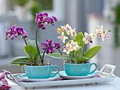 Mini - Phalaenopsis (Malayenblume, Schmetterlingsorchidee)