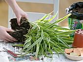 Chlorophytum laxum (Grünlilie) anschneiden und auseinanderbrechen