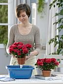 Frau taucht Rhododendron simsii (Zimmerazaleen)