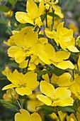 Kerria japonica (Ungefüllte Kerrie, Ranunkelstrauch)