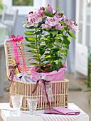 Lilium asiaticum 'Souvenir' (Lilien) in rosa Papier als Geschenk