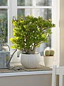 Crassula ovata (Geldbaum), Echinocereus (Igelsäulenkaktus), Gießkanne
