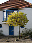 Hauseingang mit blühendem Acer platanoides 'Globosum' (Kugelahorn)