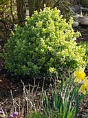 Euonymus fortunei 'Emerald Gaiety' (Kriechspindelstrauch)