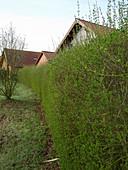 Ligustrum vulgare (Liguster) Hecke treibt im Frühling neu aus