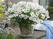 Argyranthemum frutescens 'Elsa' (Strauchmargerite)