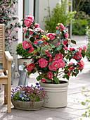 Camellia japonica 'Elegans' (Kamelie), Schale mit Saxifraga arendsii