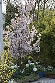 Prunus kurilensis 'Ruby' (Kurilenkirsche), Ranunculus (Ranunkeln),Myosotis