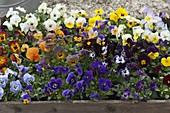 Holzkiste mit Viola cornuta (Hornveilchen) in verschiedenen Farben