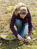 Frau erntet Blüten von Tussilago farfara (Huflattich)