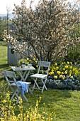 Kleine Sitzgruppe auf dem Rasen vor Amelanchier laevis (Kahler Felsenbirne)