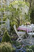 Wisteria floribunda 'Alba' (Weißer Blauregen) im Frühlingsbeet