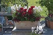 Terracotta-Kasten mit Tulipa 'Red Princess' (Tulpen), Tiarella