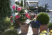 Camellia japonica 'Chandleri Elegans' (Japanische Kamelie)