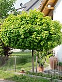 Acer platanoides 'Globosum' (Kugelahorn) hinter Zaun aus Metall