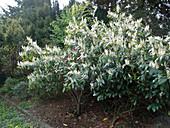 Prunus laurocerasus 'Herbergii' (Kirschlorbeer)