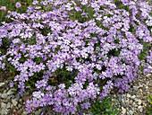 Phlox subulata 'Violet Seedling' (Polster-Phlox)