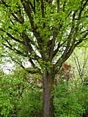 Quercus robur (Stieleiche) frisch ausgetrieben im Frühjahr