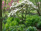 Matteuccia pensylvanica (Nordamerikanischer Trichterfarn), Rhododendron