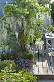 Wisteria floribunda 'Alba' (Weißer Blauregen) an Hauswand