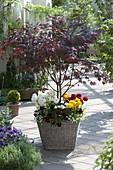 Acer palmatum 'Trompenburg' (Japanischer Fächerahorn) unterpflanzt