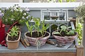 Gemüse - Jungpflanzen in Schalen vorgezogen