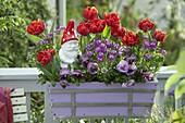 Balkonkasten mit Tulipa 'Red Princess' (Gefüllten Tulpen), Iberis