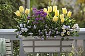 Weißer Kasten mit Tulipa 'Garant' (Tulpen), Viola ' cornuta 'Etain' (Hornveil