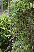 Akebia quinata (Klettergurke) im Trapezbeet