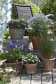 Terrasse weiß-blau Primula 'Blue Sapphire' (gefüllte Primel), Polemonium