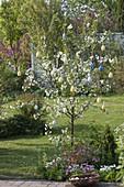 Sauerkirsche 'Morina' (Prunus cerasus) mit Ostereiern geschmückt