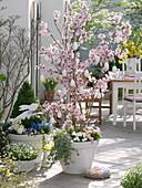 Prunus incisa (Zierkirsche) geschmückt mit weißen Eiern