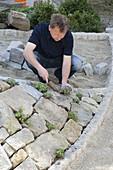 Mann bepflanzt Steinmauer mit Blaukissen und Storchschnabel