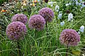 Allium 'Globemaster' (Zierlauch) mit Miscanthus 'Graziella' (Chinaschilf)