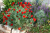 Eschscholzia californica 'Red Chief' (Kalifornischer Scheinmohn) mit Lavendel (Lavandula)