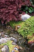 Acer palmatum 'Dissectum Garnet' (Schlitz-Ahorn) an Bachlauf mit Natursteinen, Sedum (Fetthenne)