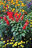 Salvia coccinea 'Lady in Red' (Scharlach-Salbei), Tagete (Studentenblumen)
