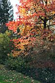 Liquidambar styraciflua (Amberbaum) im Herbst