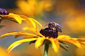 Biene (Apis mellifera) auf Blüte von Rudbeckia (Sonnenhut)
