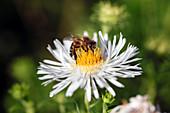 Biene (Apis mellifera) auf Blüte von Aster novi-belgii (Glattblattaster)