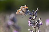 Argus-Bläuling (Plebejus argus) auf verblühtem Lavendel (Lavandula)