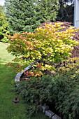 Acer shirawasanum 'Aureum' (Japanischer Gold-Ahorn), Acer palmatum 'Dissectum' (Schlitzahorn)