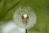 Pusteblume - Samenstand von Taraxacum (Löwenzahn)
