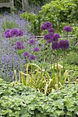 Allium aflatunense 'Purple Sensation' (Purpur-Kugellauch)