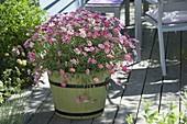 Argyranthemum frutescens 'Strawberry Pink' (Margerite) in Holzkübel