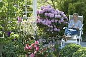 Rhododendron catawbiense 'Grandiflorum', 'Daviesii' , yakushimanum 'Marlis'