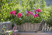 Pelargonium Interspecific 'Caliente Rose' (Geranien), Lavendel