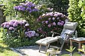 Rhododendron (Alpenrosen) im Halbschatten, Hosta 'Francee' (Funkie)