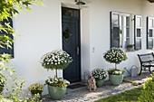 Hauseingang mit Argyranthemum frutescens 'Stella 2000' 'Duplo White'